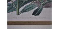 Authentique gravure de botanique ancienne