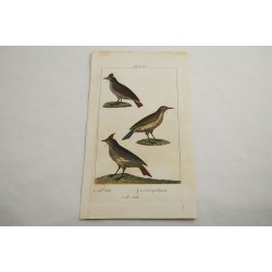 Antique original hand-colored bird engraved plate