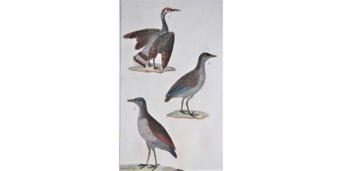 Gravure d'oiseaux ancienne colorée à la main Tav. 109