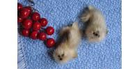 Paire de petits phoques en vraie fourrure